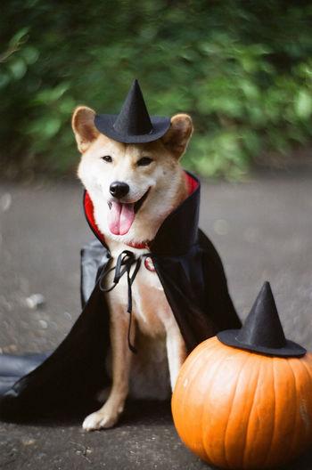 Portrait of shiba inu by pumpkin on field during halloween