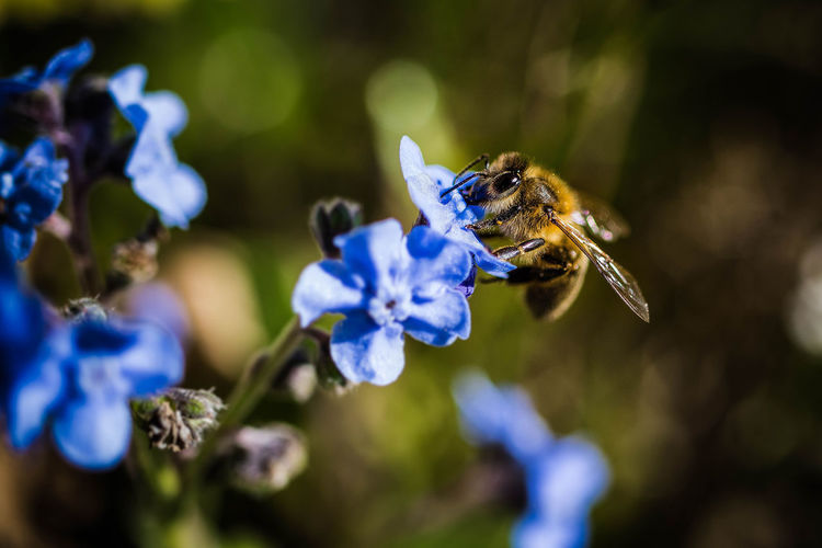 busy bee Animal Themes Animal Wildlife Animals In The Wild Beauty In Nature Bee Blue Close-up Day Flower Flower Head Fragility Freshness Growth Insect Nature No People One Animal Outdoors Petal Plant