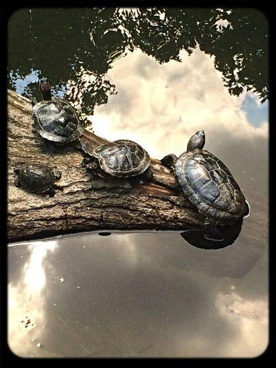 Turtles Wildlife & Nature
