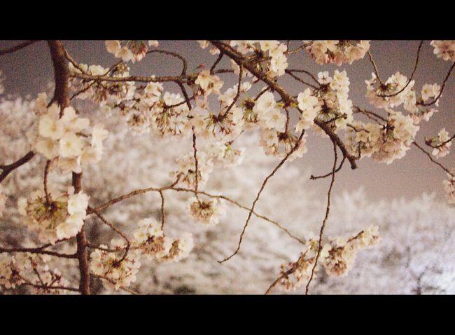 2015/3/31 chidorigafuchi sakura Japan Tokyo Sakura Cherry Blossoms Yozakura Flower