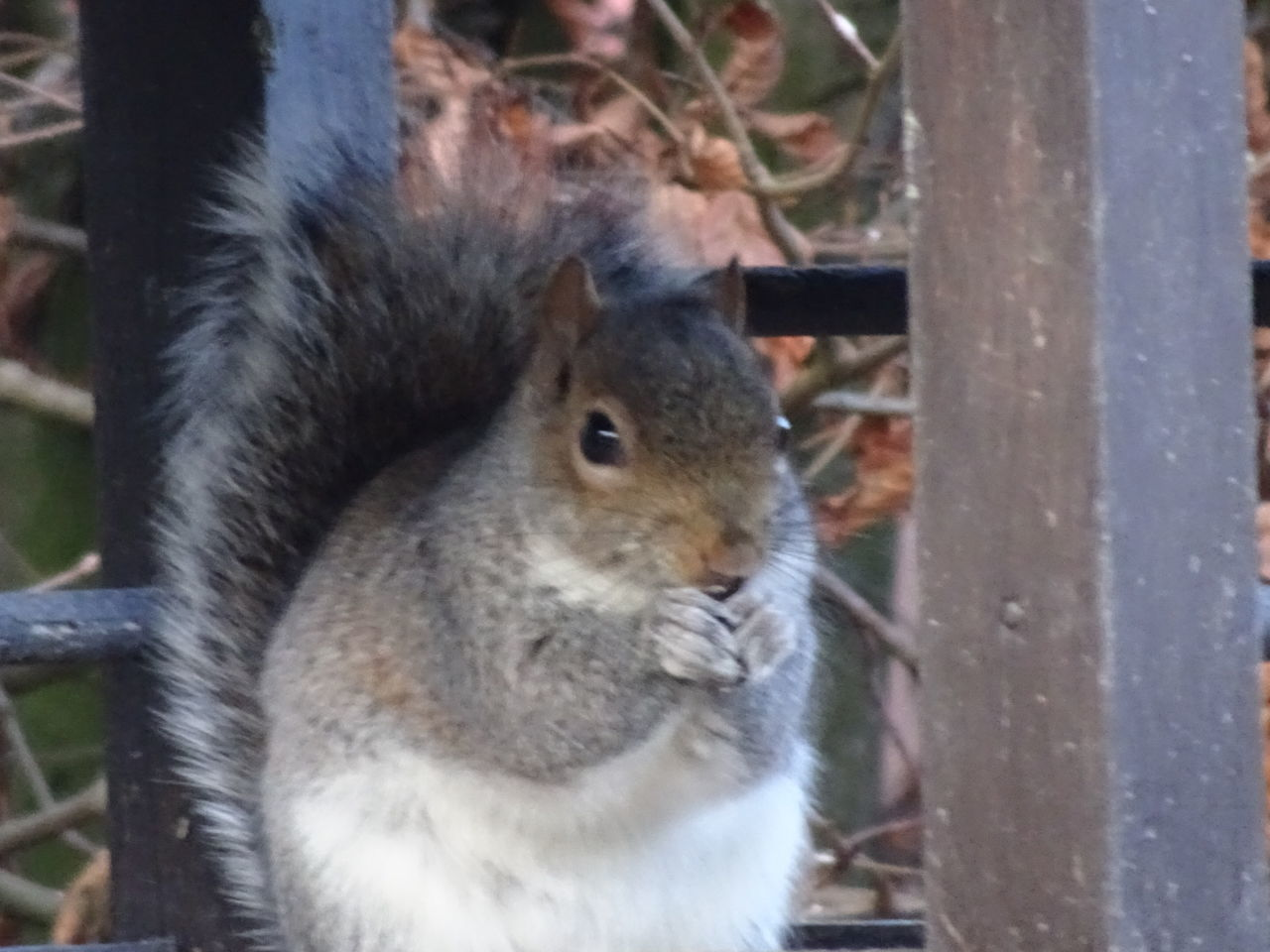 animal themes, one animal, mammal, squirrel, rodent, animals in the wild, day, no people, close-up, focus on foreground, outdoors, animal wildlife, nature, domestic animals, eating, portrait