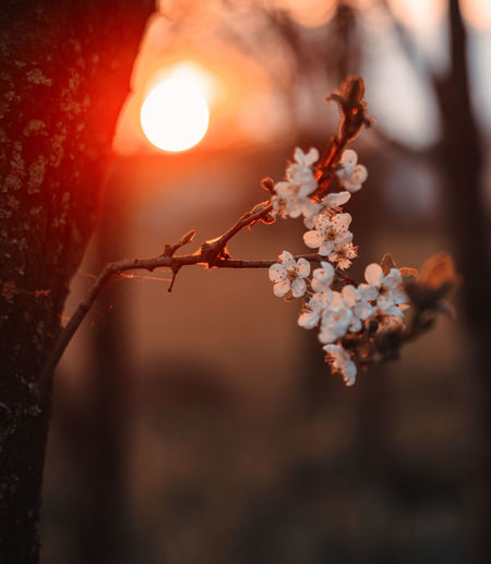 Flower Beauty In Nature Plant Flowering Plant Fragility Nature Growth Close-up Freshness Focus On Foreground Vulnerability  Tree Sunlight Selective Focus Springtime No People Blossom Day Branch Outdoors Sun Cherry Blossom Flower Head Cherry Tree