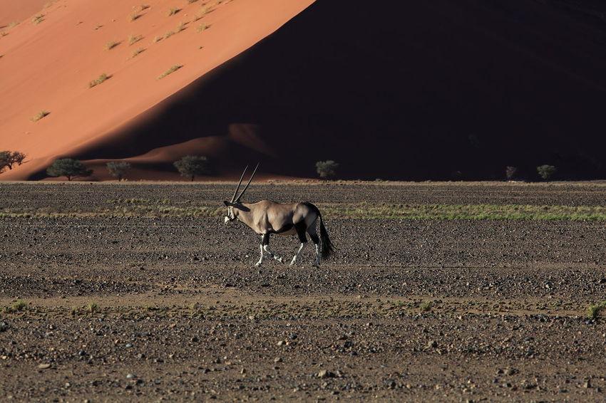 Sossousvlei, Namibia Animal Themes Arid Climate Arid Landscape Dunescape Herbivorous Landscape Loneliness Namib Desert Namib Dunes Namibia Oryx Antelope Oryx Gazella Oryx In The Desert Sossousvlei Tranquil Scene Tranquility Wildlife Fine Art Photography