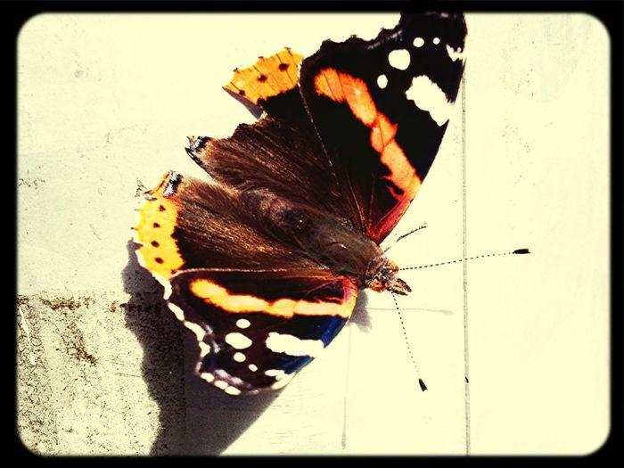 Butterfly - 2012 Beautiful Nature EyeEm Nature Lover Eye4photography  Papion Summer Feeling EyeEm Best Shots Spaziergang Unterwegsunddraußen Nature_collection EyeEm Gallery Butterfly Collection Insect Photography Schmetterling Pfauenauge