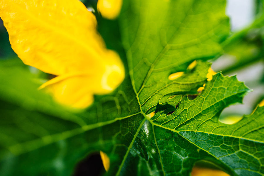 Beauty In Nature Botany Close-up Day Focus On Foreground Fragility Freshness Green Green Color Growth Leaf Leaf Vein Leaves Macro Natural Pattern Nature No People Orange Color Outdoors Petal Plant Selective Focus Yellow Zucchetti Zucchini Flower