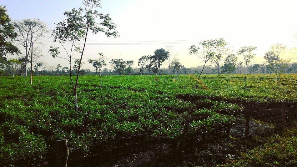 Agriculture Nature Farm Green Color Sky Landscape Beauty In Nature Tea Gardens Tea Farm Tea Leaves Dooars Dooars__trip Tea Is Healthy Jalpaiguri Jalpaiguri Tea India WestBengal