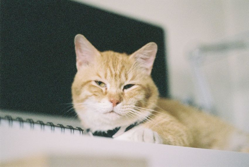 Indoors  Pets Domestic Cat One Animal Feline Portrait Looking At Camera Domestic Animals Mammal Animal Themes Home Interior No People Close-up Day Catlovers Cats Believe In Film Analogue Photography Pentaxk1000