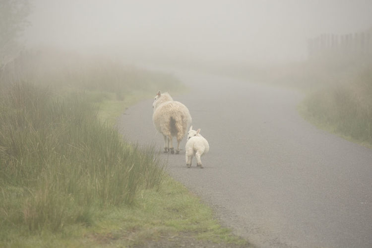 Sheep and lamb in the mist Sheep And Lambs Animal Themes Beauty In Nature Day Domestic Animals Fog Foggy Grass Livestock Mammal Mist Nature No People Outdoors Sheep Tranquility