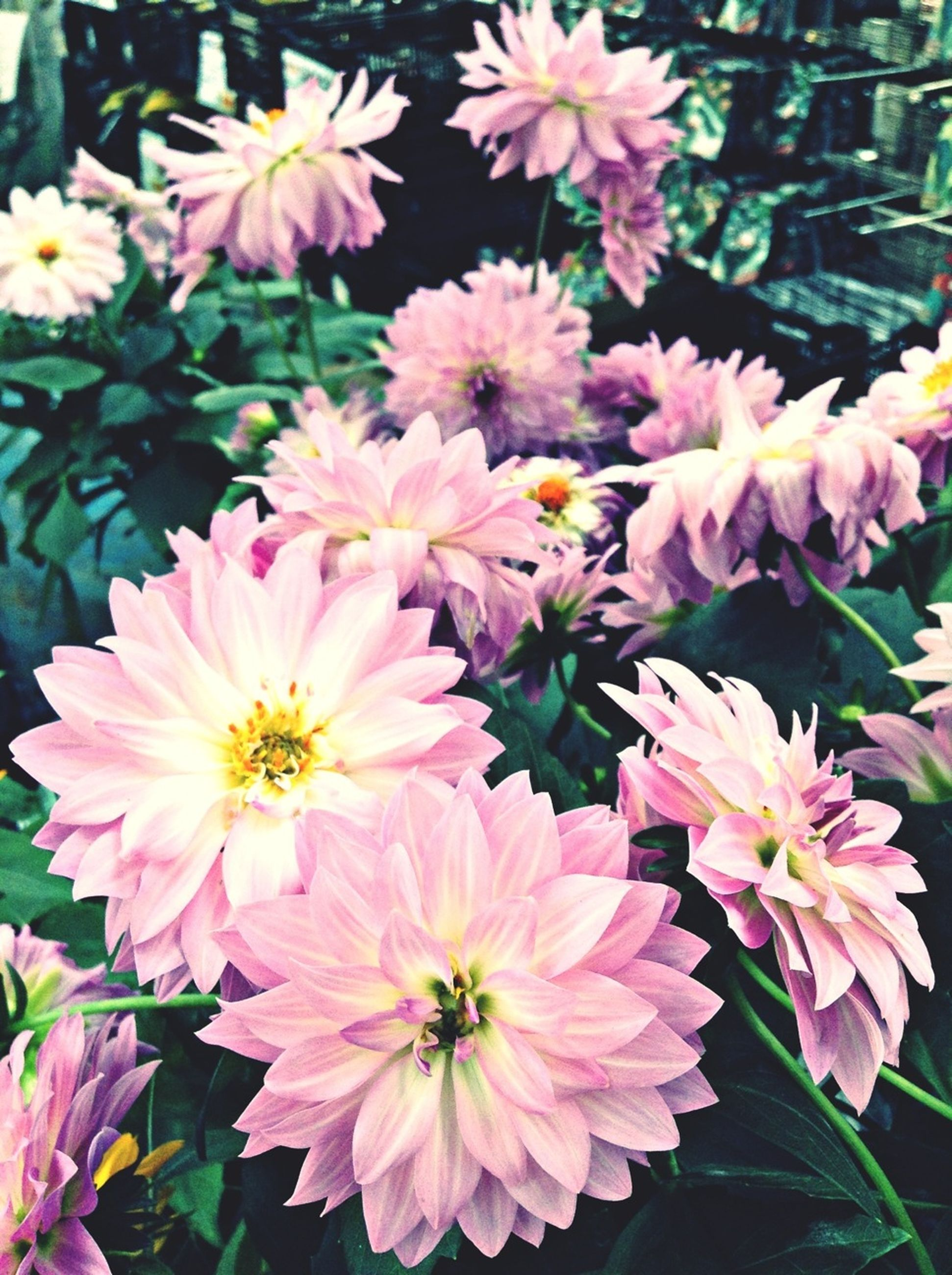 flower, freshness, petal, fragility, flower head, growth, beauty in nature, pink color, blooming, nature, close-up, plant, focus on foreground, in bloom, pollen, high angle view, park - man made space, blossom, leaf, botany