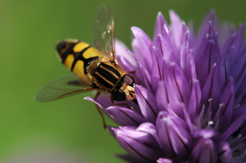 Beauty In Nature Bee Fly Close-up Flower Flower Head Insect Nature Outdoors Petal Plant Pollination Purple