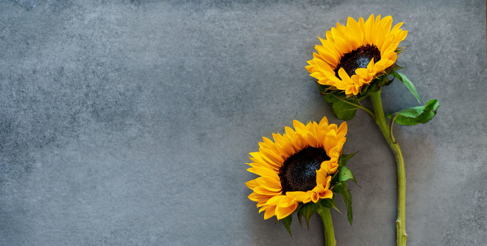 Close-up of sunflower against yellow wall