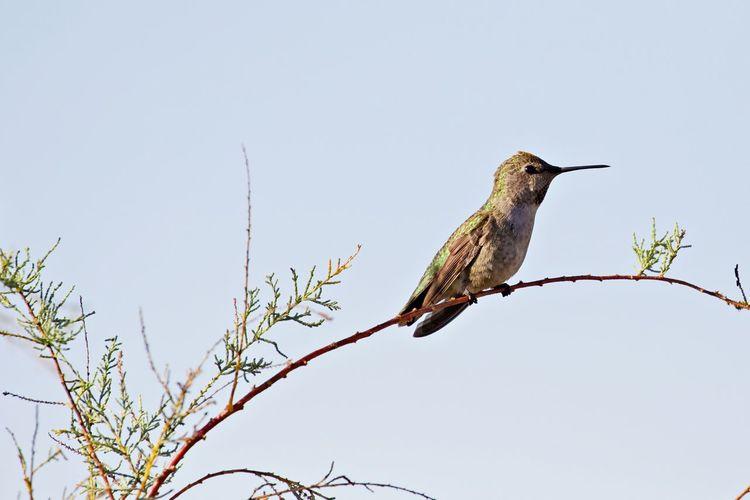 Bird Animals In The Wild Animal Wildlife Animal Themes Outdoors No People Low Angle View One Animal Animal Perching Branch Bare Tree Nature Hummingbird