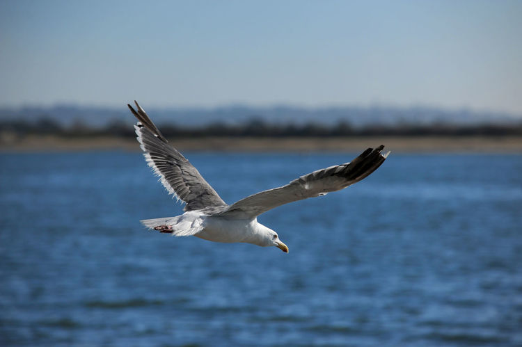 Animal Themes Animals In The Wild Bird Flight Flock Of Birds Flying Freedom Mid-air Nature One Animal Seagull Spread Wings Wildlife