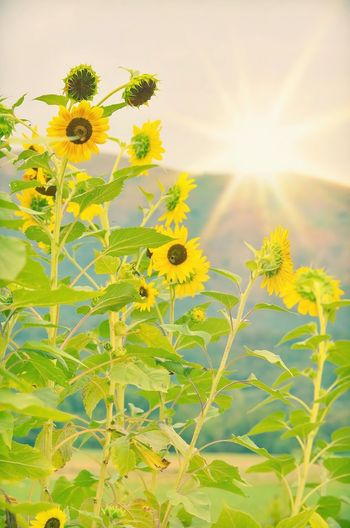 Sunlight Sunshine Sunrise Rural Scene Countryside Natrual Beauty  Sunflower Sunflowers Flower Head Flower Tree Rural Scene Sunset Sunflower Leaf Yellow Agriculture Uncultivated Wildflower Blossom Botany In Bloom Cultivated Land Flowering Plant
