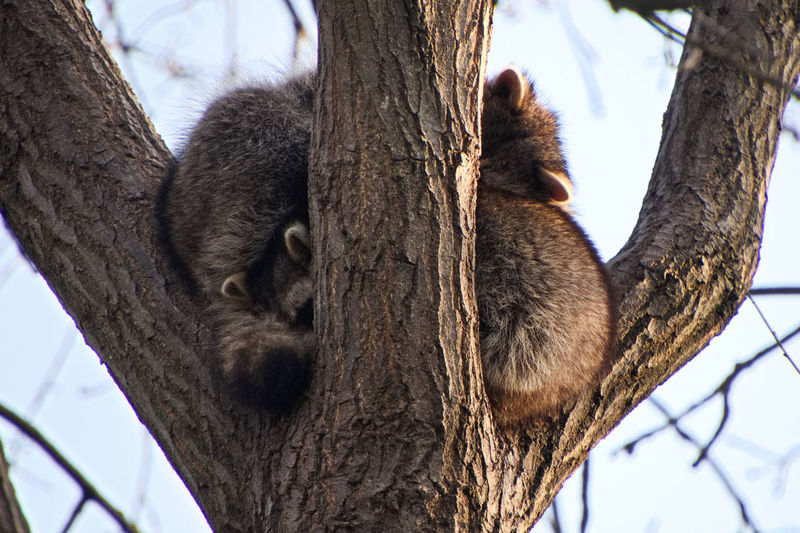 Low angle view of racoon sleeping on tree