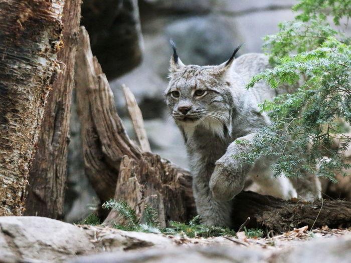 Lynx walking by tree at zoo