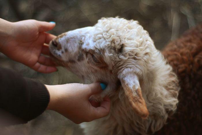 Sheep Animal Animal Hair Domestic Animals One Animal Cute Beauty People Human Hand Animal Themes