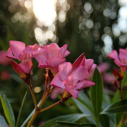 Na dobranoc! 😘 Naturalnie Kwiat Oleander Piękno Swiata Nature Pink Flowers Flora Sun Sunset Garden BeautifulPic Macrophotography EwaJoannaMatczyńskaPhotography Goodnight Haveaniceday