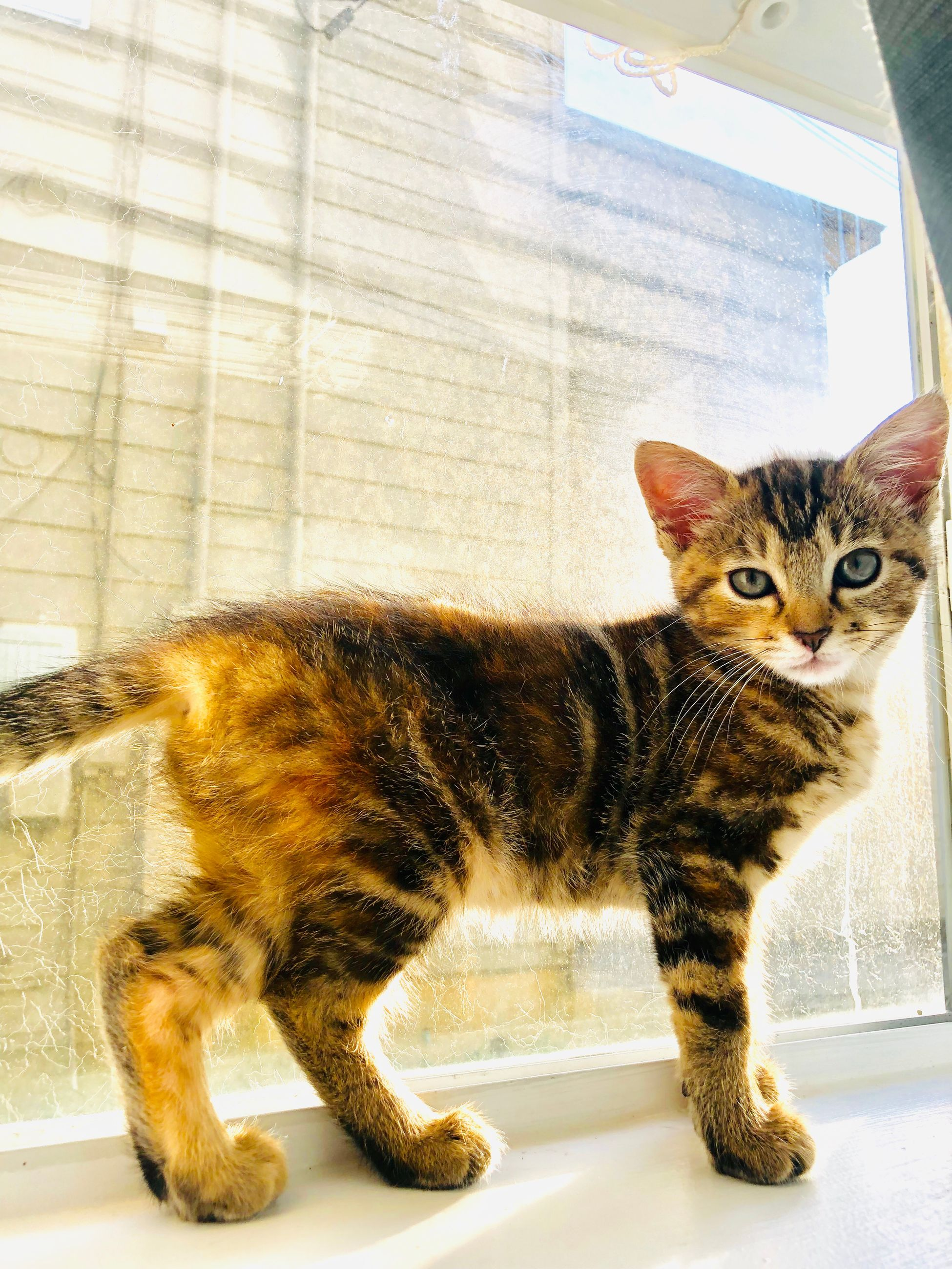 pets, mammal, domestic, domestic animals, cat, feline, one animal, indoors, domestic cat, portrait, no people, vertebrate, looking at camera, window, close-up, full length, day, whisker, tabby