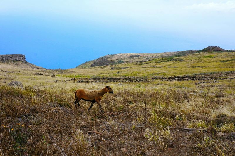 Animal One Animal Full Length Landscape No People Mountain Nature Outdoors Scenics Domestic Animals Animal Themes Day Sky African Elephant goat Tenerife Goat Ocean View