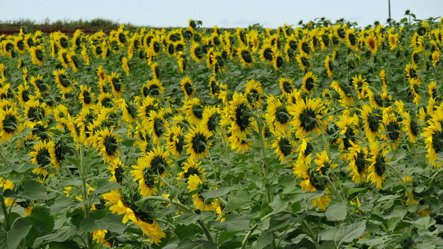 ezefer Abundance Agriculture Beauty In Nature Crop  Cultivated Land Day Field Flower Fragility Freshness Green Color Growth Landscape Nature No People Outdoors Plant Plantation Rural Scene Scenics Sky Sunflower Tranquil Scene Tranquility Yellow