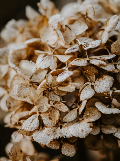 Macro photo of decaying hydrangea Close-up No People Dry Focus On Foreground Food Plant Abundance Nature Flower Still Life Selective Focus Beauty In Nature Brown Growth Flowering Plant Flower Head Wilted Plant Dried