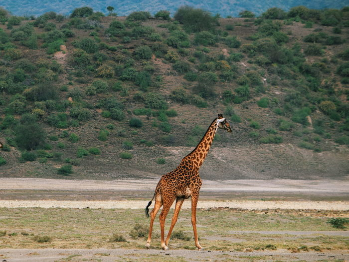 Masai giraffe - giraffa tippelskirchi at shompole conservancy, magadi