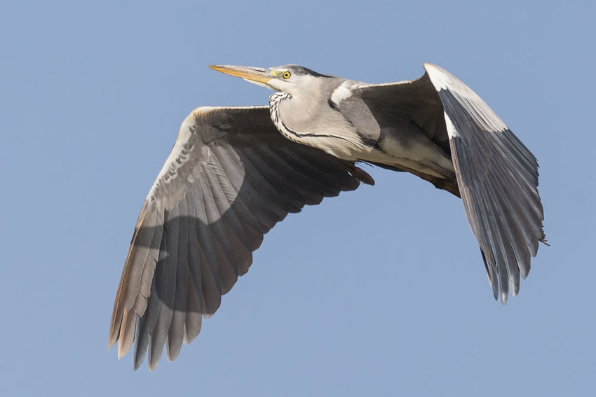 Grey Heron Bird Animal Wildlife One Animal Flying Spread Wings Animals In The Wild Sky Day Animal Themes Close-up Nature Feather  Bird Photos Portrait Beak Outdoors Nature Beach Birds🐦⛅ No People Beauty In Nature Side View Feather  Animals In The Wild Blue