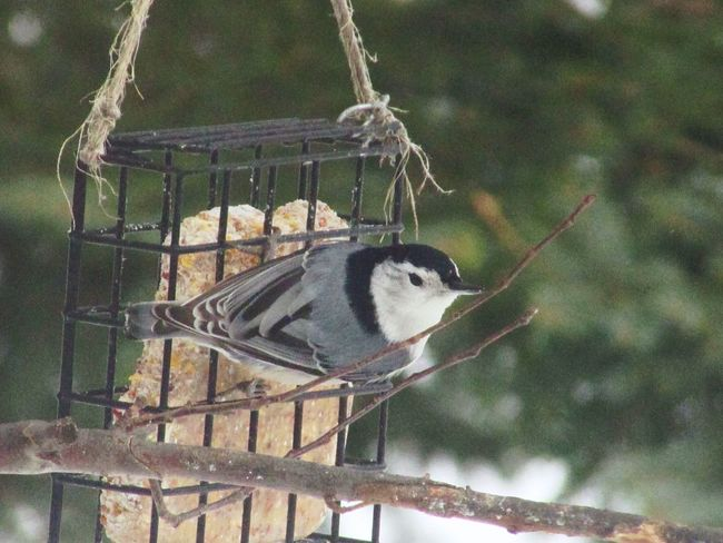 Bird Animal Themes One Animal Animals In The Wild Animal Wildlife Day Metal Perching Outdoors Cage No People Nature Close-up Nuthatch Branch Springtime Spring Bird Feeder