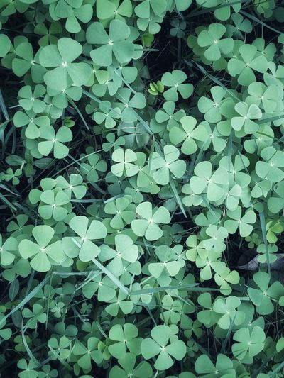 Cloverleaf Full Frame Plant Part Leaf Backgrounds No People Green Color Nature Growth Beauty In Nature Plant Close-up High Angle View