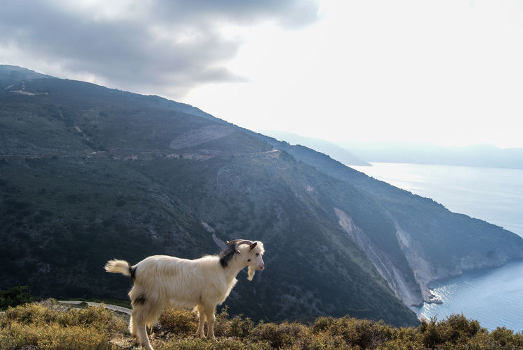 Cow standing on mountain against sky