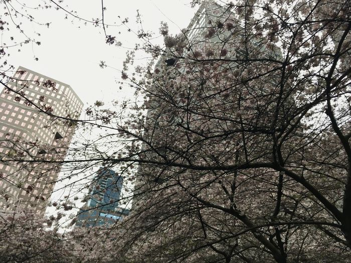 Tree Low Angle View Growth No People Sky Branch Nature Outdoors Building Exterior Day Cherry Blossoms Sakura Spring