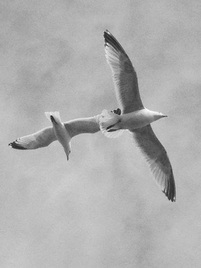 Gulls Gulls In Flight