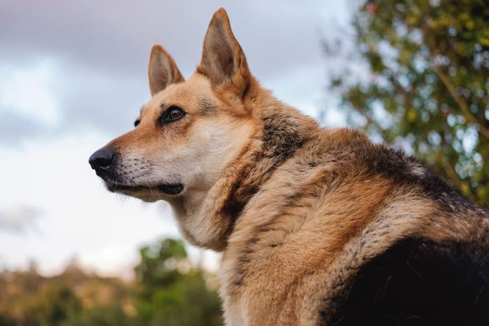 EyeEm Selects Animal Themes Domestic Animals One Animal Mammal German Shepherd Dog Day Pets Focus On Foreground Outdoors No People Sky Nature Close-up Tree