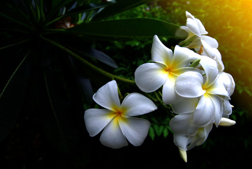 plumeria flowers Flowers,Plants & Garden Plumeria Plumeria Tree Beauty In Nature Blooming Flower Flower Collection Flower Head Flowers Flowers, Nature And Beauty Fragility Freshness Growth Nature Petal Plant Plumeria Blossoms Plumeria Flower Plumeria Flowers White Color White Flower