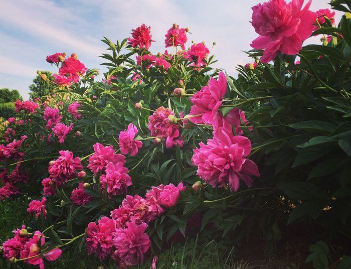 Peonie Peonie Bush Flowers Beautiful Pink Garden Nature Outdoor Millennial Pink