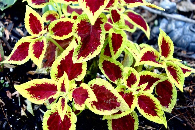 Coleus. My yard. Coleus Leaf Close-up Fragility Freshness Growth Plant Nature Day Outdoors No People Flower Herb Beauty In Nature Flower Head Plant Plants And Flowers Plants 🌱 Beauty In Nature EyeEmNewHere Marylandisforcrabs🦀 Garden Gardening Garden Photography
