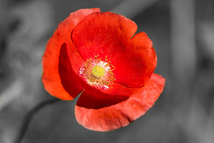 Mohn Flower