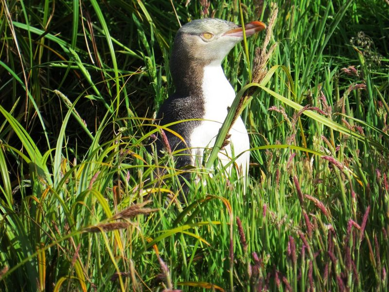 Yellow eyed Penguin Sub Antarctics Wildlife Auckland Islands Enderby Island NZ Birds Endangered Species Vulnerable Yellow Eyed Penguin Hoiho Grass One Animal Nature Animals In The Wild Animal Themes Day Outdoors No People Animal Wildlife Beauty In Nature