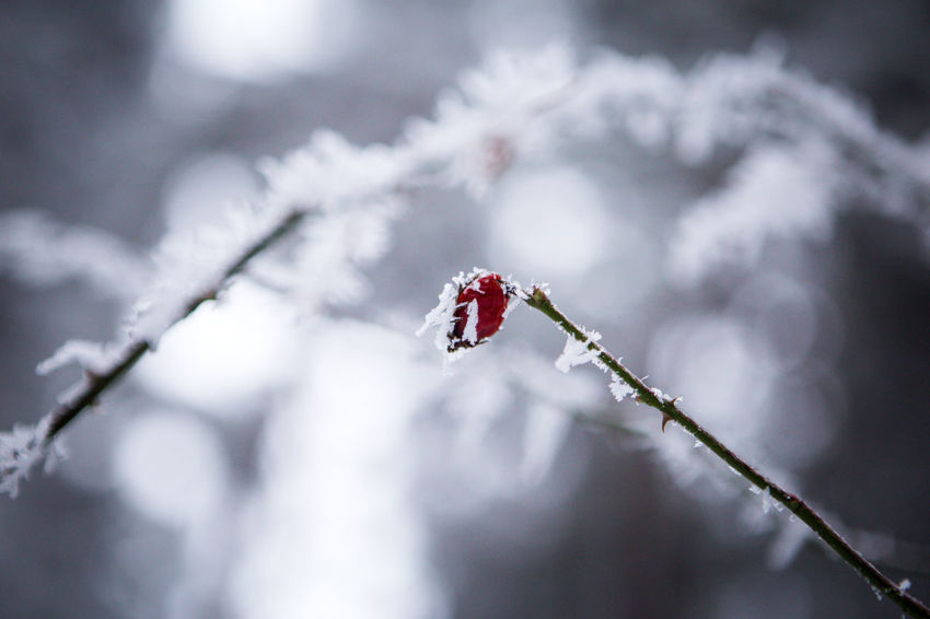 Beauty In Nature Branch Close-up Day EyeEm EyeEm Gallery EyeEm Nature Lover Focus On Foreground Fragility Fresh On Eyeem  Freshness Freshness Frozen Fruit Fruit Fruits Hip Nature Nature Nature Photography Nature_collection No People Outdoors Snow Tea Winter