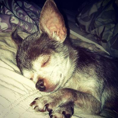 My little angel Kissy Sleeping Adorable Cute mylittlegirl iloveher Chihuahua dogsofinstagram