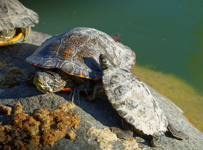 Close-Up Of Turtles On Rock By Lake