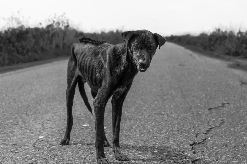 Stay Dog Alone Lost Road Animal Themes Black And White Day Dog Domestic Animals Field Gaunt Help Homeless Looking Looking At Camera Mammal Nature No People One Animal Outdoors Pets Pitiable Portrait Sadness Starve