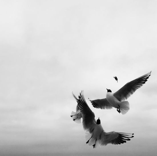 Low Angle View Of Black-Headed Gull Against Cloudy Sky