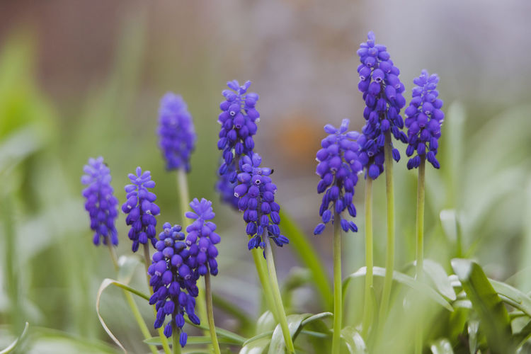 grape hyacinth Flowering Plant Flower Plant Vulnerability  Growth Fragility Beauty In Nature Freshness Close-up Purple No People Nature Petal Selective Focus Day Flower Head Grape Hyacinth Inflorescence Focus On Foreground Hyacinth Lavender Springtime