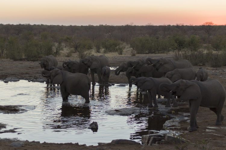 Namibia African Elephant Animal Themes Animal Wildlife Animals In The Wild Beauty In Nature Day Elephant Elephants Etosha Etosha National Park Group Of Elephants Landscape Large Group Of Animals Mammal Nature No People Outdoors River Safari Animals Scenics Standing Sunset Togetherness Water