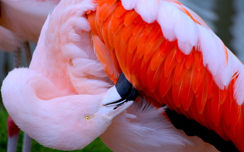 Close-up of flamingo preening feathers