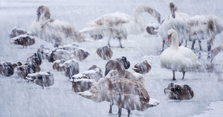 The mute swan cygnus olor, during the snowfall on soderica lake, croatia