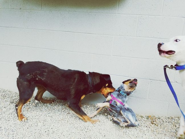 Just playtime, no one got hurt I promise. Dogs Playing Together Shelterdogs Dog Pets Domestic Animals Mammal Animal Themes One Animal No People Day Outdoors