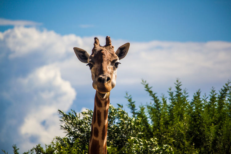 Low angle view of giraffe by tree against sky